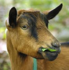 invasive species got your goat so does kennebunk woman u0027s new