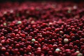 to keep the cranberry industry in its birthplace a farm turns to