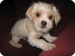 bichon frise shih tzu mix for sale dexter adopted puppy wauseon oh shih tzu chihuahua mix