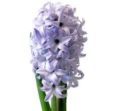 Hyacinth Flower Buy Wholesale Blue Hyacinth Flower Wedding Flowers