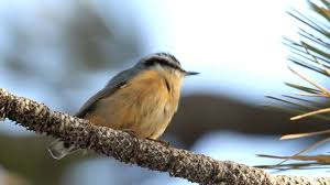 red breasted nuthatch sitta canadensis at mount pinos