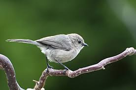 Backyard Birding Magazine Backyard Birding In Portland Bushtit Backyard Birds Pinterest