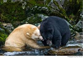 Are Bears Color Blind The Spirit Bear Why Evolution Is True