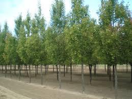 shade trees dirt simple