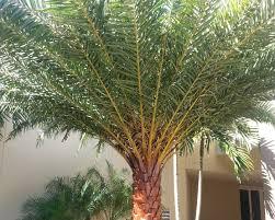 sylvester palm tree sale cp paurb july 2015