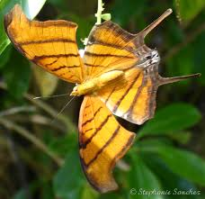 ruddy daggerwing marpesia petreus cramer 1776 butterflies and