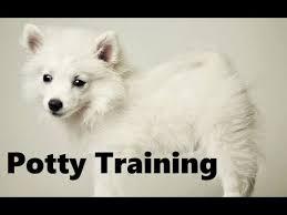 american eskimo dog growth chart how to potty train an american eskimo puppy american eskimo dog