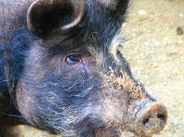 the backyard barnyard breed spotlight american guinea hog