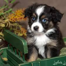 australian shepherd mini puppy lulus lil aussies toy u0026 mini australian shepherds