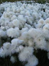 tundra native plants arctic cotton flower tundra cotton field my favorite into