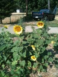best 25 black oil sunflower seeds ideas on pinterest black