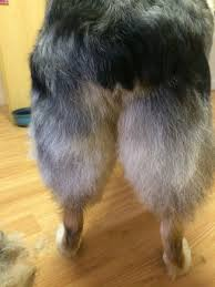 australian shepherd long tail getting an aussie trimmed wigglebutts