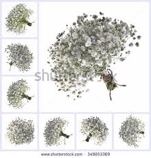 Baby S Breath Flower Babys Breath Flower Stock Images Royalty Free Images U0026 Vectors