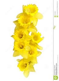 spring daffodils border or frame background stock images image