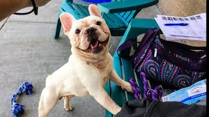 2 dozen french bulldogs need a home up for adoption sat after