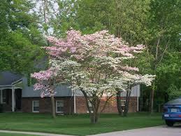 front yard with cornus florida tree growing cornus florida trees