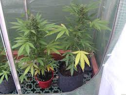 Northern Lights Outdoor Grow Strain Gallery Northern Light Automatic Royal Seeds Pic