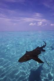 best 25 sharks ideas on pinterest shark do sharks have scales
