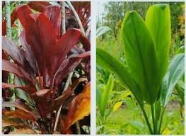 ti plant hawaiian ti plant logs 1 1 green grow hawaii ebay