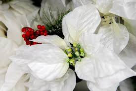decorations white poinsettia stock photo image 46957343