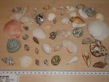 Assorted Seashells Sea Shells Ebay