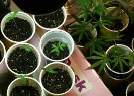best light for weed seedlings how to grow marijuana the ultimate organic guide