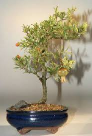 bonsai trees for sale direct from wholesaler