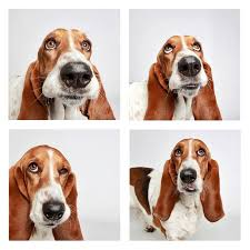 bluetick coonhound basset hound mix photobooth for dogs photos image 1 abc news