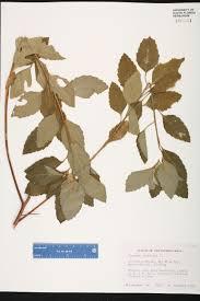 florida keys native plants turnera ulmifolia species page isb atlas of florida plants