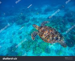 sea turtle blue water above sand stock photo 566531578 shutterstock