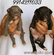 american pitbull terrier in bangalore dog pup puppy siberian husky pups puppies for sale 9315100716 in