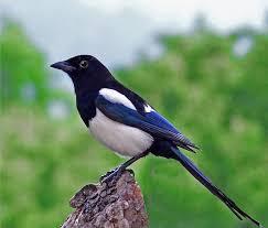 Magpie Birds In Backyards Best 25 Eurasian Magpie Ideas On Pinterest Magpie Pretty Birds