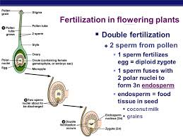 28 fertilization in flowering plants plant reproduction