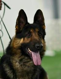 australian shepherd german shepherd 2477 best german shepherds images on pinterest german shepherds