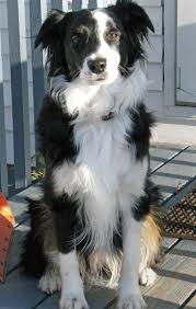 5 month old mini australian shepherd characteristics of the australian shepherd border collie mix
