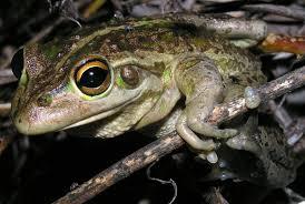 motorbike frog wikipedia