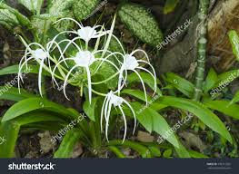 crinum lily cape lily poison bulb stock photo 192712922 shutterstock