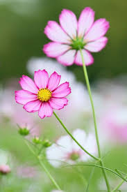 Pretty Types Of Flowers - 70 best cosmos flowers images on pinterest cosmos flowers