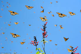 mountain sees monarch butterflies gather and cover 10