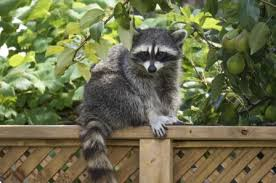 How To Keep Cats Out Of Your Backyard To Get Rid Of Raccoons Possums And Skunks In Your Yard
