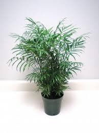 buy palms free shipping 79 99