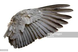 Bird Wing - eagle bird stock photos and pictures getty images