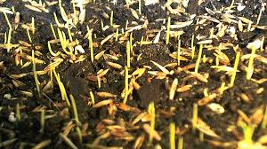 how to sow grass seed for the lawn the garden