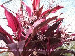 ti plant luck ti plant how to propagate cordyline terminalis