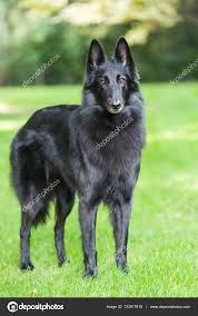 belgian sheepdog breeds beautiful groenendael dog puppy running in spring nature black