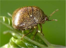 Tropical Plants Pests Pest Alert Kudzu Bug Plant Pest And Home Invader What Grows