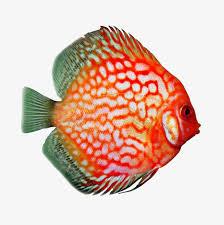 Buy Ornamental Fish Discus Fish Ornamental Fish Pigeon Tropical Fish Png Image