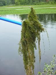 native water plants aquatics update plant profile hydrilla