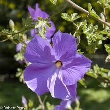 native plant nursery santa cruz alyogyne huegelii cv inland valley garden planner