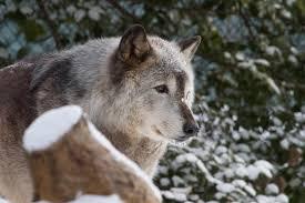 arctic wolf habitat for kids